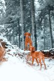 Three dogs Hungarian vyzhla stay on snow in winter forest royalty free stock image