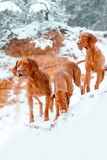 Three dogs Hungarian vyzhla stay on snow in winter forest in cliff royalty free stock image