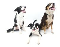 Three Dogs Isolated. 2 Border Collies and 1 Australian Shepherd Royalty Free Stock Image