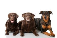 Three dogs Royalty Free Stock Photos