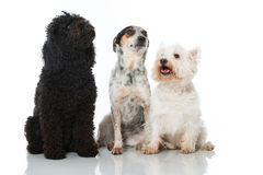 Three dogs Royalty Free Stock Images