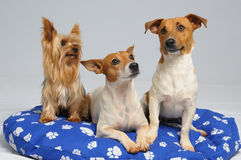 Three dogs. Jack Russell Terriers, and a Yorkshire Terrier Stock Image
