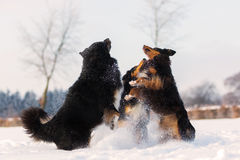 Three dogs jumping in the snow Royalty Free Stock Image