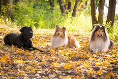 Three dogs lying down on autumn forest stock photo