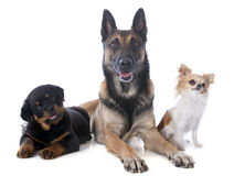 Three dogs. Malinois, rottweiler and chihuahua on a white background Stock Images