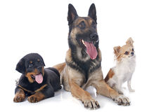 Three dogs. Malinois, rottweiler and chihuahua on a white background Royalty Free Stock Images