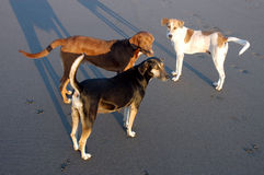 Three Dogs - Mexico Royalty Free Stock Image