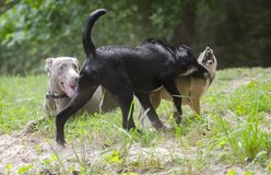 Three dogs play fighting in sand. Young Black Collie mixed breed puppy dog, Weimaraner, Chihuahua play fighting in sand. Snarling teeth Stock Images