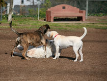 Three dogs playing royalty free stock image
