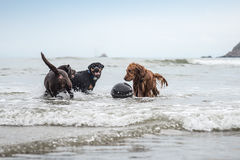 Three dogs playing at the beach stock image