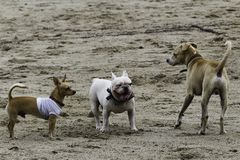 Group of dogs playing on the beach stock image