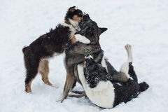 Three dogs playing. Outdoors at snowy day stock photo