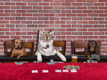 Three Dogs Playing Poker royalty free stock photos