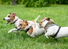 Three dogs playing and racing quickly at summer park Stock Photo