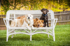 Three dogs posing on chair outdoor Stock Photos