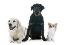 Three dogs Royalty Free Stock Photos