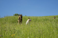 Three dogs resting Stock Photo