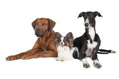 Three dogs (Rhodesian Ridgeback Papillon and Hort greyhound) Royalty Free Stock Image
