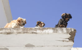 Three dogs on the roof Stock Photos