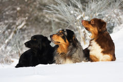 Three dogs in a row Stock Photos