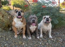Three dogs in a row by flowers stock images