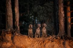 Three dogs in a row looking at camera in forest royalty free stock image