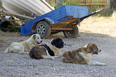 Three dogs in row Stock Image