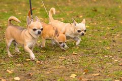 Chihuahua dog Close-up stock photography
