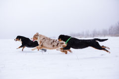Three dogs running race. On snow-covered field Stock Photos