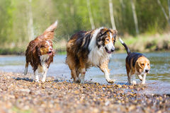 Three dogs running in a river stock images