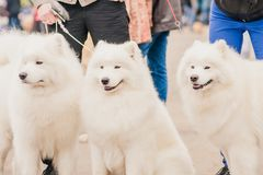 Three dogs Samoyeds in exhibition Stock Photos