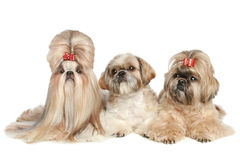 Three dogs Shih tzu lie on a white background Stock Images