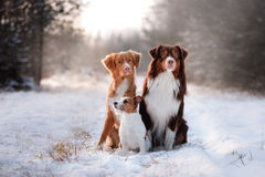 Three dogs sitting together outdoors in the snow royalty free stock photo
