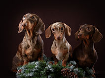 Three dogs and spruce branch Stock Image