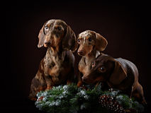 Three dogs and spruce branch stock photo