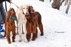 Three dogs standing Royalty Free Stock Photography