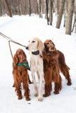 Three dogs standing Stock Photos