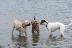 Three Dogs and a Stick stock images