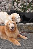 Three dogs in a street, labrador and golden retriever. Three dogs in a street, black labrador and golden retriever stock images