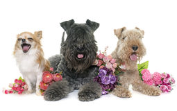 Three dogs in studio Royalty Free Stock Image