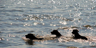 Three Dogs Swimming. In a lake during the hours before sunset Royalty Free Stock Photos