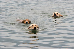 Three dogs swimming Royalty Free Stock Images