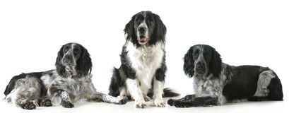 Three spaniels Stock Photos