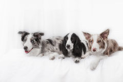 Three dogs together. Two dog breeds border collie Stock Images