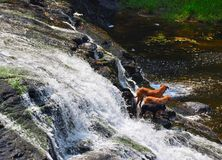 Three dogs at waterfall Royalty Free Stock Image