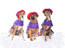 Three dogs wearing red and purple costumes Stock Photos