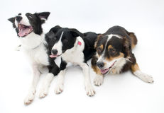 Three Dogs on White Background Royalty Free Stock Photo