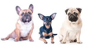 Three dogs on a white background, isolated. French Bulldog, Pug. And Toy Terrier. Different breeds of dogs stock photo