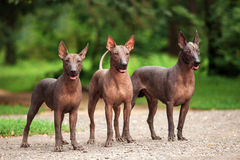 Three dogs of Xoloitzcuintli breed, mexican hairless dogs standing outdoors on summer day. Horizontal portrait of three dogs of Xoloitzcuintli breed, mexican Royalty Free Stock Photography