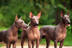 Three dogs of Xoloitzcuintli breed, mexican hairless dogs standing outdoors on summer day Stock Photos